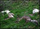 Dead_goats2