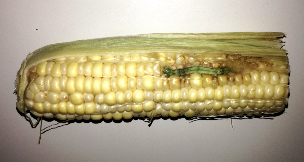 Beckworth_SweetCorn