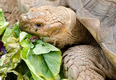 Beckworth_Turtle_Eating