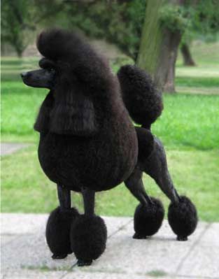Beckworth_Pope's_Poodle