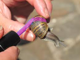 Beckworth_Painted-Snail