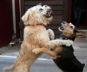 Beckworth_dogs-fighting